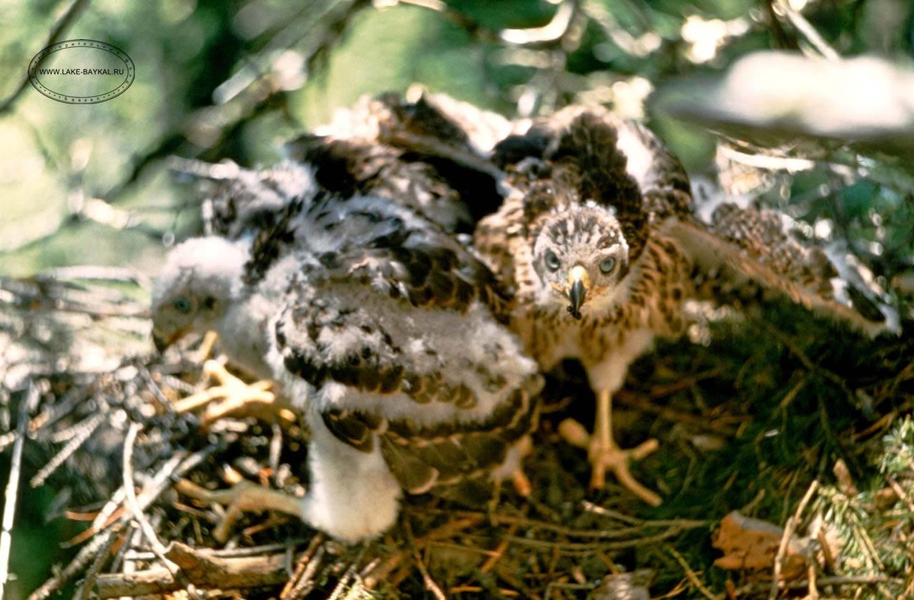 Уход за хищными птицами. Ястребы, соколы и совы 85